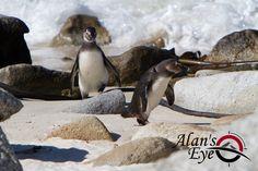 Penguins on the Beach near Cape Town, South Africa - South Atlantic Ocean