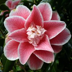 "Camellia japonica ""Yours Truly"""