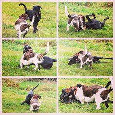 Stella & Kenny having fun at camp!  Kenny's a Bassett mix available for adoption through #badassbk. #adoptdontshop! #evasplaypupspa #dogs #dogcamp #playtime #autumn #sweaterweather