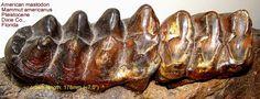 American Mastodon - TEETH & JAWS - Gallery - The Fossil Forum