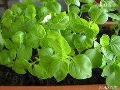Bazalka - pestovanie a použitie v kuchyni (fotopostup) Spinach, Herbs, Gardening, Vegetables, Food, Lawn And Garden, Essen, Herb, Vegetable Recipes