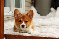 pembroke corgi in the snow