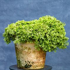 selaginella-moss-2e9b8f86-0221 Flowering Succulents, Indoor Flowering Plants, Blooming Plants, Foliage Plants, Tropical Plants, Air Plants, Planting Flowers, Pothos Plant, Plant Cuttings
