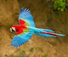 Animal Encounters: Macaws at Manu Biosphere Reserve, Peru