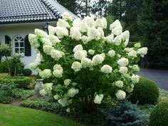 Hydrangea - my fall fav - love when it shifts to shades of pink