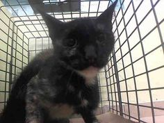 TO BE DESTROYED 8/2/14 ** Alice is extremely frightened in the shelter. Please foster, adopt, or pledge to save her life tonight!! ** Brooklyn Center  My name is ALICE. My Animal ID # is A1008229. I am a female tortie domestic sh mix. The shelter thinks I am about 4 YEARS old.  I came in the shelter as a STRAY on 07/27/2014 from NY 11208