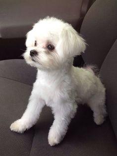 Brooklyn the cutest Maltese!