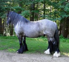 Feathered Gold Stables Our beautiful blue roan gelding, Kree.