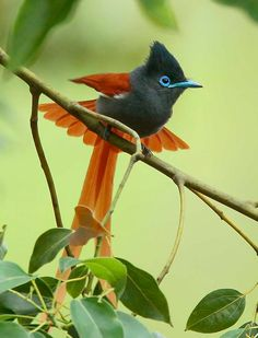 African Paradise Flycatcher