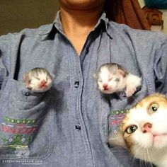 Two Pocket Kittens Photobombing Mama Cat Baby Animals, Funny Animals, Cute Animals, Animal Babies, Cute Kittens, Cats And Kittens, Kitty Cats, Crazy Cat Lady, Crazy Cats