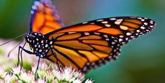 papillonLLe monarque
