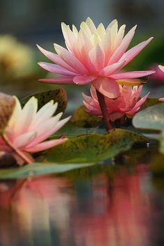 From my board Lotus flowers & Water Lilies. Amazing Flowers, Beautiful Flowers, Lily Pond, Lily Lily, Water Flowers, Plantation, Water Garden, Flower Art, Lilly Flower