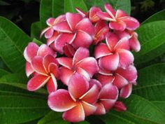 """The plumeria """"Gina"""".  Outstanding colours with a compact growth habit.  Thai hybrid."""