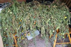Hang your tomato plants in the garage after you pull them up in March and the tomatoes will keep on ripening.
