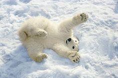 Polar Bear Cub Playing In Snow Alaska Zoo Poster Print (17 x 11)