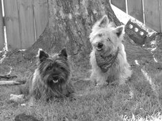 Pictures of Cairn Terrier Dog Breed