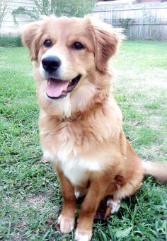 My rescue dog. German shepherd/ retriever mix