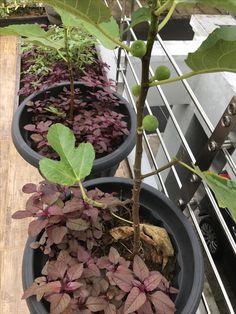 Red Spinach. Bayam merah