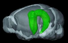 Study identifies new function for the hippocampus. New Pins, New Technology, Genetics, Projects To Try, Study, Health, Sanya, Quotes, Language