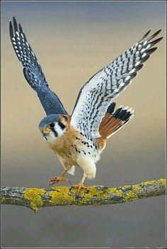 Krogulec zwyczajny,krogulec,jastrząb wróblarz. Eng.Eurasian sparrowhawk. (Accipiter nisus) –gatunekśredniej wielkościptakadrapieżnego zrodziny jastrzębiowatych(Accipitridae). Jest on najliczniejszym przedstawicielem rzędu szponiastych w Eurazji. Zamieszkuje Europę, środkową i wschodnią Azję oraz północną Afrykę. Zamieszkuje skraje lasów w pobliżu pól z kępami drzew, w tym 20-50-letnie świerkowe i sosnowe drągowiny, monokultury oraz śródpolne zagajniki. Mogą być to zarówno duże…