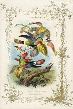 jerrard print | Paul Jerrard Hummingbird Offering 1852