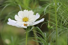 Free Images : nature, grass, meadow, cosmos, flower, petal, natural, botany, butterfly, freedom, colorful, flora, wildflower, macro photography, summer flowers, white petals, flowering plant, daisy family, oxeye daisy, land plant 5184x3456 - - 829010 - Free stock photos - PxHere