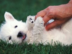 Image result for westie puppies