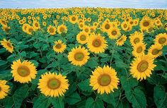 The petals of a sunflower are actually each single-petalled flowers; a sunflower is actually a cluster of hundreds of flowers. Who Knew? Sunflower Fields, Sunflower Oil, Sunflower Facts, Sunflower Garden, Sunflower Flower, Sunflower Pictures, Mammoth Sunflower, Sunflower Paintings, Sunflower House