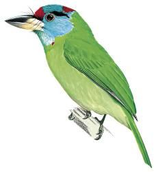 Turquoise-throated Barbet (Megalaima chersonesus) (Formerly included in Megalaima asiatica)