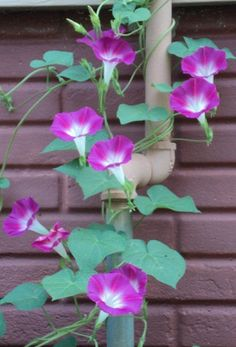 Morning Glories (p. Flowers Perennials, Planting Flowers, My Flower, Flower Power, Purple Flowers, Beautiful Flowers, Morning Glory Flowers, Bloom Where Youre Planted, Flowering Vines