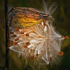 Autumn Photograph of a Milkweed Pod via Etsy.