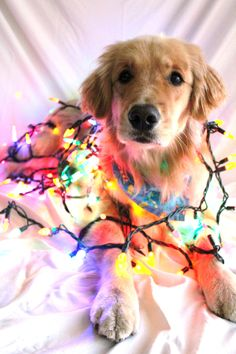 Poor Dog. Finlay posing while wrapped in Christmas lights.