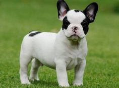 Francia bulldog: a fajta standard, karbantartás és gondozás, az egészségügy (+ kép és videó)