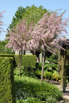 Tamarix tetrandra of tamarisk is een rijkbloeiende en decoratieve… Back Gardens, Small Gardens, Cottage Front Garden, Tiny Garden Ideas, Small Water Features, Green Glass Bottles, Garden Lanterns, Garden Deco, Garden Trellis