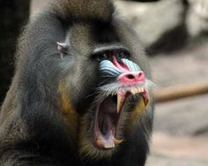 mandrill baboon at Houston zoo
