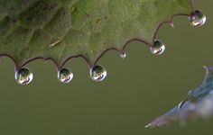A grazing horse is seen, refracted through drops of water hanging from an autumn leaf in Igis, eastern Switzerland, Friday, Oct. 24, 2008.