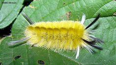 Banded Tussock Moth caterpillar - Halysidota tessellaris