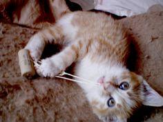 Muffin, chaton roux et blanc joue avec un bouchon