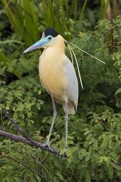 Capped Heron (Pilherodius pileatus) Central and South America