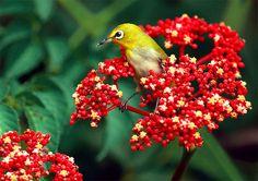 #318 小綠花簇 (Big wreath!)   綠繡眼.攝於台灣 台北植物園 Japanese White-eye,…   Flickr