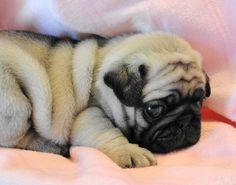 Sleepy puglet!