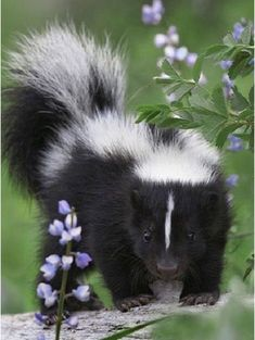 12 Baby Skunks That Are Just Too Stinkin' Cute! - I Can Has Cheezburger? 12 Baby Skunks That Are Just Too Stinkin' Cute! - World's largest collection of cat memes and other animals Cute Baby Animals, Animals And Pets, Strange Animals, Beautiful Creatures, Animals Beautiful, Majestic Animals, Striped Skunk, Baby Skunks, Tier Fotos
