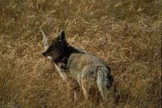 Baiting is a common technique for trapping and hunting coyotes. The coyote relies on the sense of smell to locate and hunt or scavenge food. Coyotes respond to a variety of smells, with rank odors . Quail Hunting, Coyote Hunting, Pheasant Hunting, Hunting Rifles, Archery Hunting, Deer Bait, Coyote Trapping, Bow Hunting Tips, Hunting Stuff