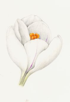 Crocus. From the collection of botanical illustrations of flowers by Wendy Hollender.