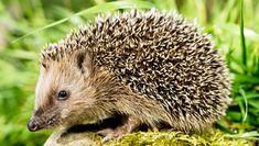 Egels in Groot-Brittannië krijgen beschermd natuurgebied