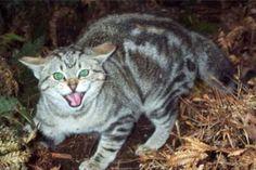 Caccia al gatto selvatico australiano