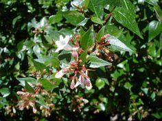 LA ABELIA: Abelia x grandiflora