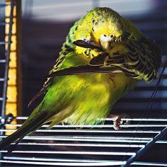 #budgie #cleaning #cute #sweet #wellensittich #welli #bird #animal #pet #germany #herne #cgfotoonline