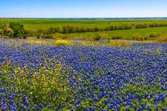Bluebonnets & Wildflowers