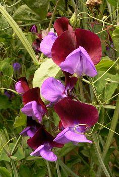 sweetpea Cupani. Purple & red flowers, nature, plants.